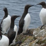 Guillemots on the Isle of Lunga