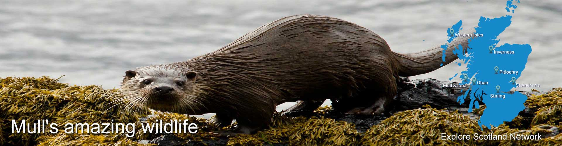 Isle of Mull Otters