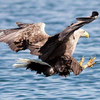 Boat trips and tours to see sea eagles