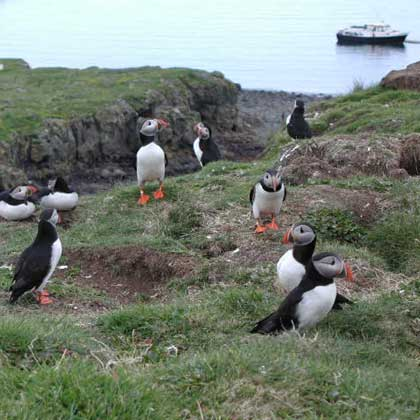 Boat trips and tours to Staffa & Treshnish (lunga)
